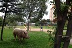 O porco foi preso a uma árvore, pouco antes das 6h, na esquina da Avenida Cristiano Fischer com Avenida Ceres (Agencia RBS/Cláudio Rabin)