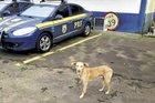 Guardião chegou a ser encaminhado para uma ONG, mas não foi aceito (Divulgação/Polícia Rodoviária Federal)
