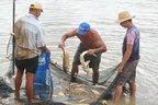 matéria-prima: Expectativa é abater 5 mil quilos de carpas, tilápias e jundias ao dia (Agencia RBS/Jean Pimentel)