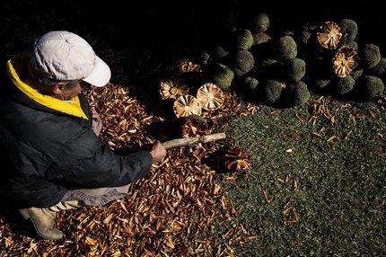Colheita da semente não chegou a 300 quilos na propriedade de Lauro Pinto, em Cambará do Sul (Agencia RBS/Mateus Bruxel)