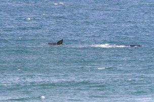 Duas baleias-francas foram vistas na Praia do Rosa, em Imbituba, nesta segunda-feira (Divulgação/Enrique Litman)