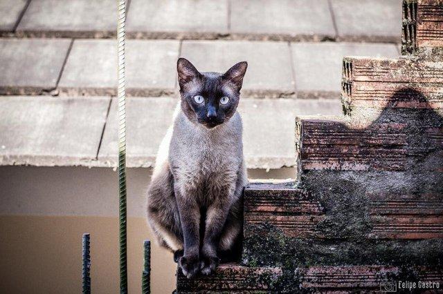 Kiko, um siamês arteiro e brincalhão. É a alegria da casa, mas às vezes tira o sossego dos irmãos felinos