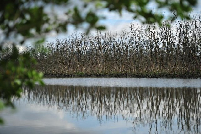 JOINVILLE,SC,BRASIL,16-11-2017.Morte em parte do mangue de Joinville(Siriúba).(Foto:Salmo Duarte/A Notícia)
