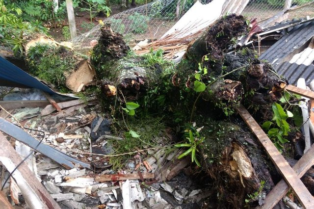Queda de árvore provoca morte de menina em São João Batista