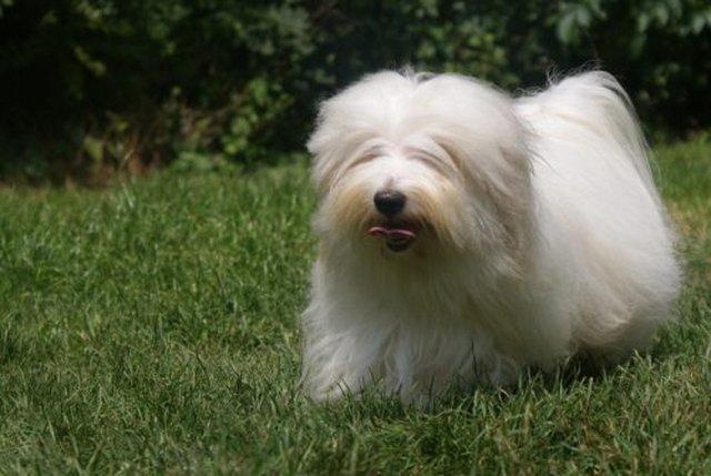 Cão da raça Coton de Tulear