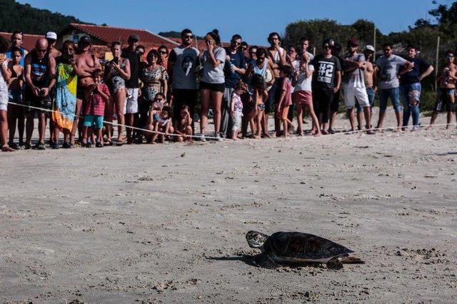 FLORIANÓPOLIS, SC, BRASIL - 06/04/20174Tartaruga é liberada para o mar da Barra da Lagoa em comemoração à marca de 35 milhões de tartarugas cuidadas pelo projeto TamarIndexador: Diorgenes Pandini