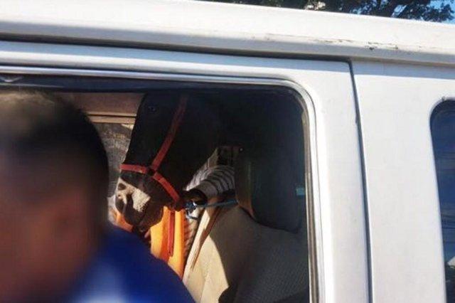 motorista sem CNH levava cavalo dentro de Kombi em Porto Alegre