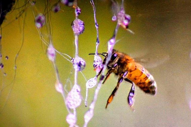 Imagens do  Globo Repórter especial sobre a Serra catarinense  na foto abelha  suga melato das bracatingas em Bom Retiro.