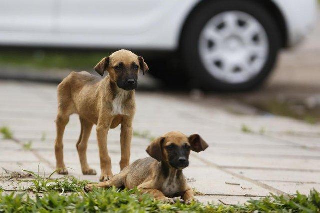 ALVORADA, RS, BRASIL, 26/09/2018: Ministério Público age contra cães nas ruas de Alvorada. (CAMILA DOMINGUES/AGÊNCIA RBS)
