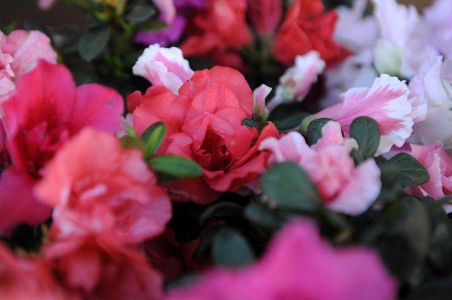CAXIAS DO SUL, RS, BRASIL, 05/08/2019 - Flores que resistem ao frio rigoroso do inverno. fotos parqa ensaio contracapa temática.  NA FOTO: azaleia. (Marcelo Casagrande/Agência RBS)