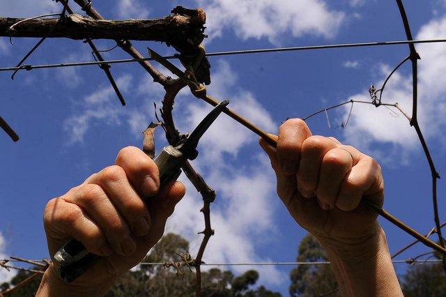 CAXIAS DO SUL, RS, BRASIL, 27/08/2019 - Produtores de uva Roni e Marta Castoldi realizam a poda dos parreirais no interior de Caxias do Sul. (Marcelo Casagrande/Agência RBS)