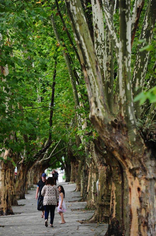 CAXIAS DO SUL, RS, BRASIL, 24/02/2020. Galhos de plátanos junto ao Parque Getúlio Vergas (Parque dos Macaquinhos), em Caxias, serão cortados devido à erva-de-passarinho. Secretaria do Meio Ambiente já identificou necessidade em algumas árvores, mas inspeção detalhada deve ocorrer após a queda das folhas. (Porthus Junior/Agência RBS)<!-- NICAID(14430206) -->