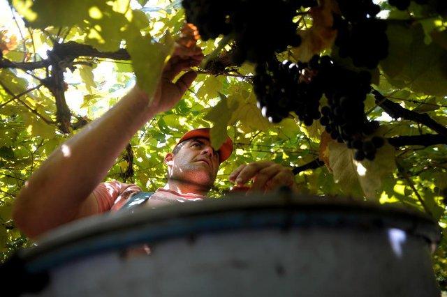 CAXIAS DO SUL, RS, BRASIL, 10/03/2020Produtores de uva de São Luiz da 3ª Légua: Mauro Brustolin e Olmar Brustolin(pai de chapéu)(Lucas Amorelli/Agência RBS)<!-- NICAID(14446405) -->