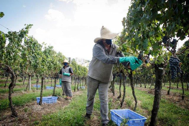 FLORES DA CUNHA, RS, BRASIL, 30/03/2020. A Vinícola Luiz Argente, normalmente teria pelo menos 15 pessoas na colheita da uva, mas nas últimas semanas foram apenas cinco, que trabalhavam separados e com aparamentados com luvas e máscaras. Essas ações foram tomadas por conta da prevenção ao coronavírus. (Tatiana Cavagnolli/Divulgação)<!-- NICAID(14465074) -->