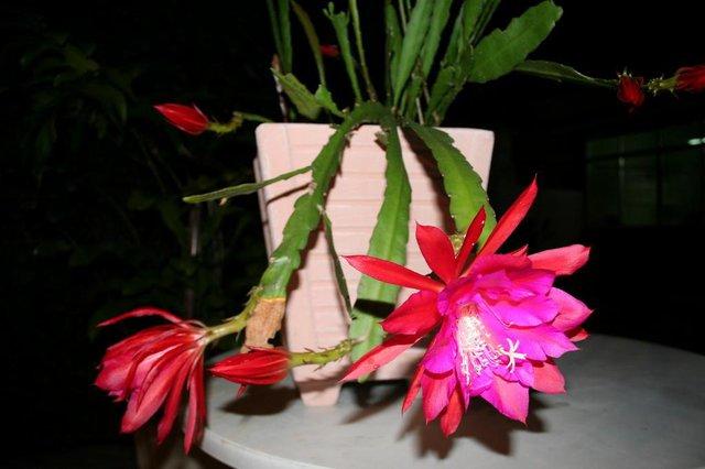 Fotos da Flor dama da noite.
