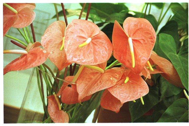 Antúrios, planta decorativa.#PÁGINA:4#ENVELOPE:293690 Fonte: Especial ZH