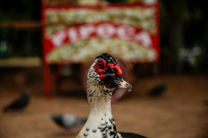 Patos podem viver entre 10 e 20 anos, conforme a raça e o ambiente