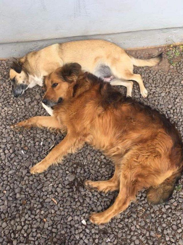 28/09/2021- Polícia investiga sumiço de cães comunitários em Capela de Santana . Na foto(cima/baixo),cães Quinha e Bernardão.  Foto: Marciano Rodrigo Fraga Persson / Arquivo Pessoal<!-- NICAID(14901074) -->