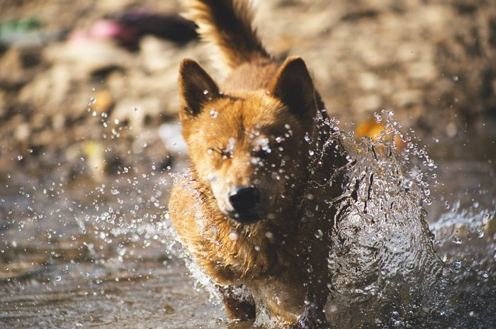 Resultado de imagem para Para cães, basta sentir calor intenso para dar início à hipertermia.