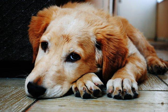 d4b36cb459 Seu cão está com dificuldade de respirar  Ou parece que está com ...